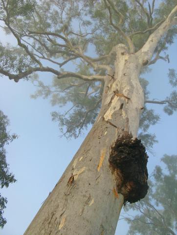 The mighty Aussie gum tree
