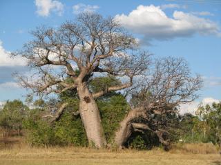 Boab tree Kununurra