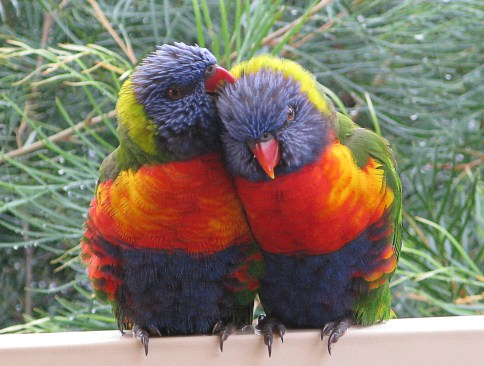 Lorikeets are partners for life