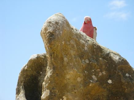Galah nesting among the Pinnacle's