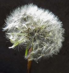 dandelions time-1
