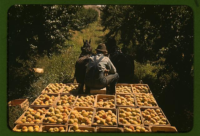 Hauling Peaches in Colorado During the Great Depression