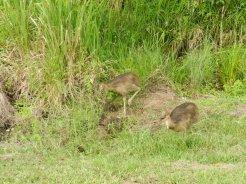 Baby cassowaries