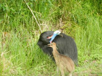Male cassowaries take care of the chicks