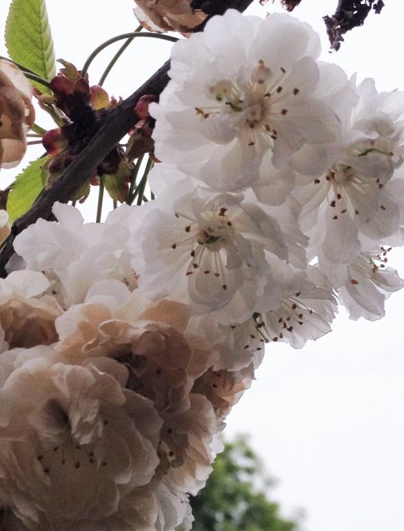 adela galasiu blossoms 7