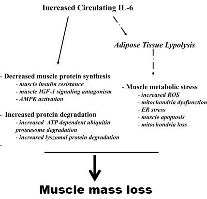 IL-6 muscle wasting