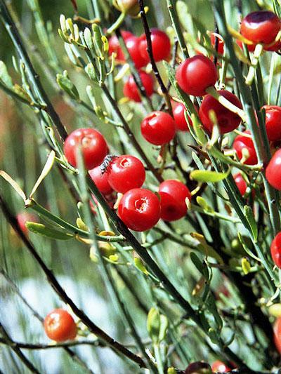 ephedra-vulgaris.jpg