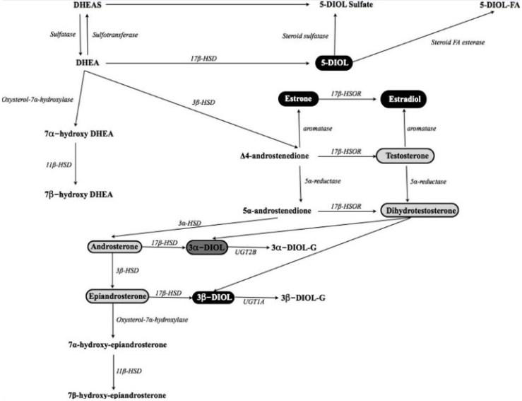 DHEA metabolism