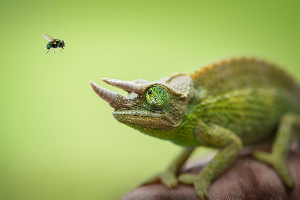 chameleon-and-fly
