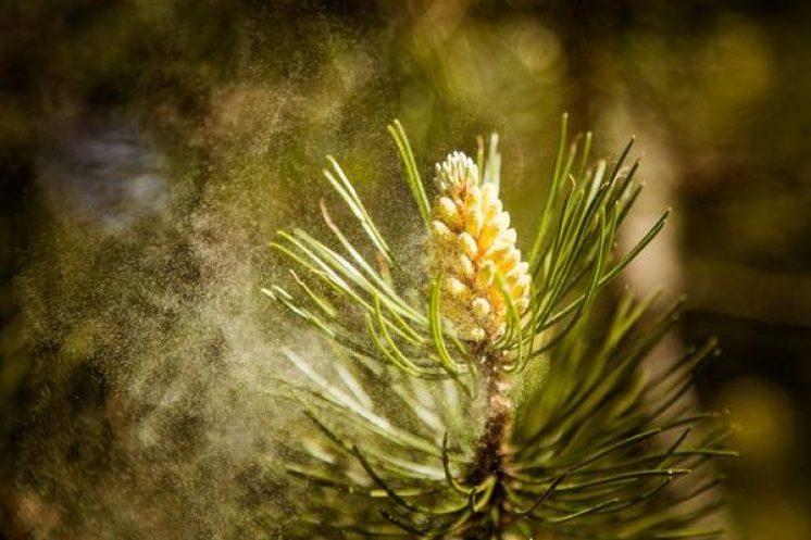 Pine pollen aromatase MenElite