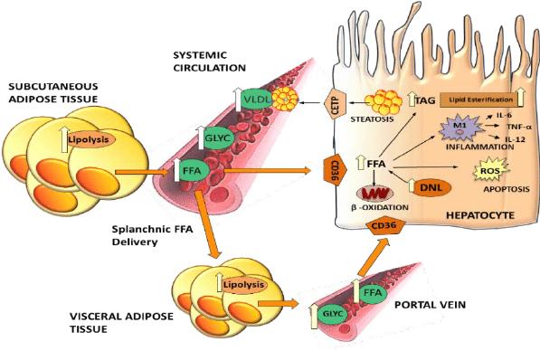 Lipolysis fatty liver_MenElite