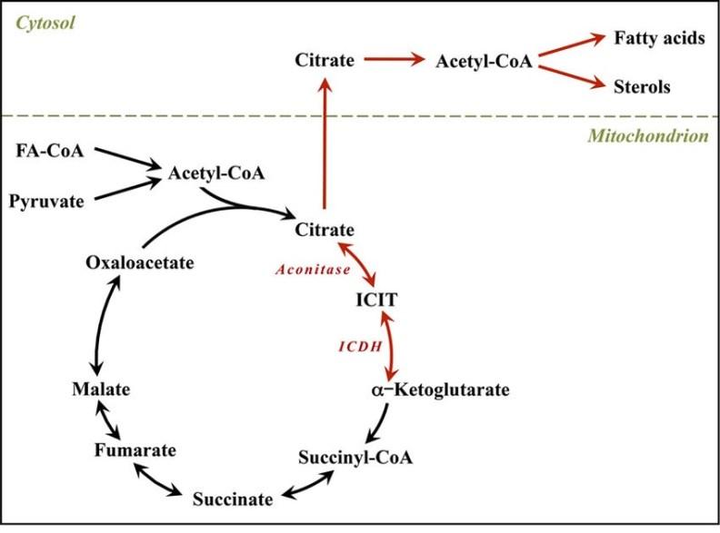 lipogenesis fatty acid synthase coronavirus MenElite