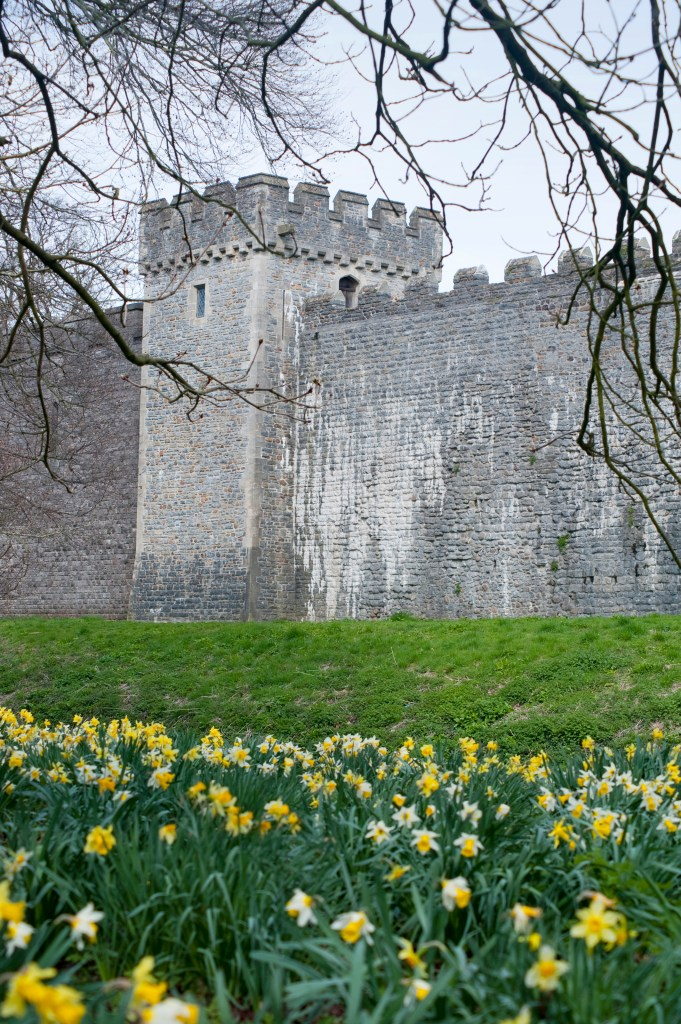 Colourful yellow spring daffodils blooming in the garden at Cardiff Castle with a crenellated wall visible behind, Cardiff, Wales