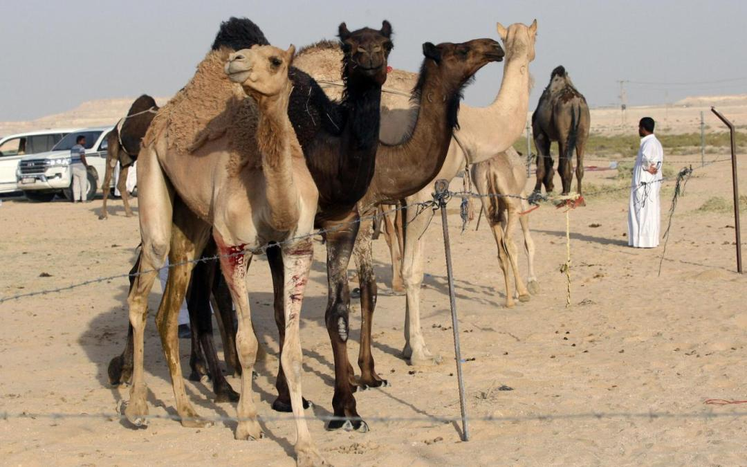 Thousands of Qatari camels and sheep being expelled from Saudi