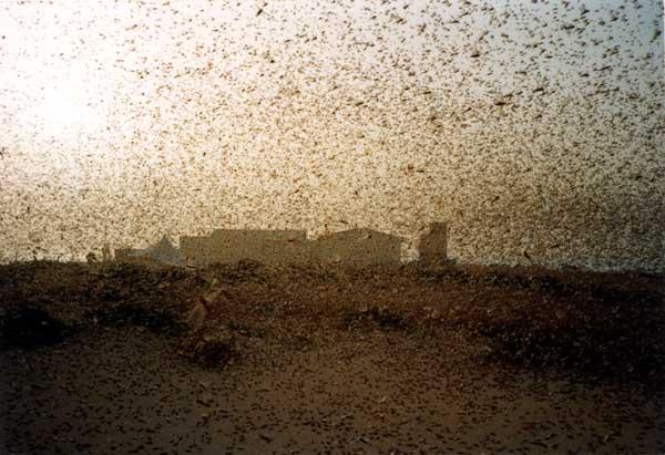 Desert Locust outbreak in northeast Africa and Saudi Arabia