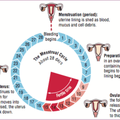 Menstrual Cycle Diagram With Ovulation Wiring For 1 Light 2 Switches Female Reproductive Images 40 9500527 578 Systems Staying Healthy In Relationships A Of The