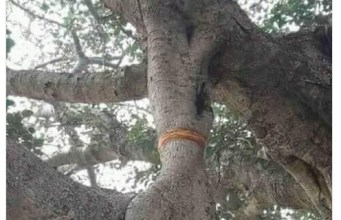 Drvo, vidovita Amra
