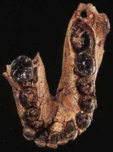 OH 7 kæben fra Olduvai. Typepræparatet for Homo habilis.