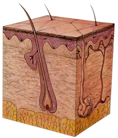 Tredimensionalt billede af menneskets hud. Øverst overhuden (epidermis - det rødlige), derunder læderhuden (dermis) og nederst det gullige fedtvæv i underhuden (subcutis). Endvidere ses en hårfollikel, en svedkirtel og et blodkar.