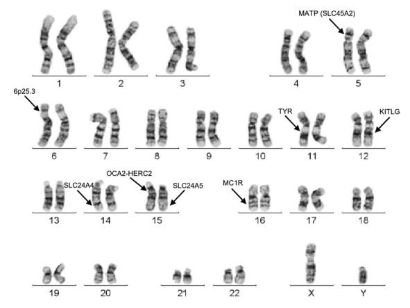 Den kromosomale lokalisation af vigtige pigmentgener