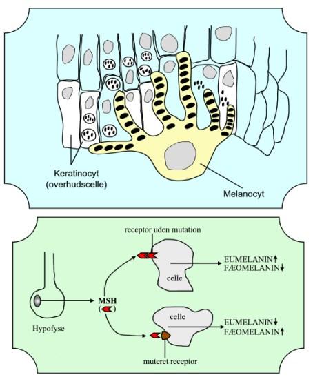 """I melanocytten dannes melaninkornene (melanosomerne), der derefter """"eksporteres"""" til overhudscellerne (keratinocytterne). Nederst dannelse af eu- og fæomelanin"""