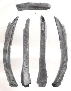 Indgraverede ribben fra elg og ren. Beskrevet i Rust 1943, men er ikke fra Stellmoor. De er fra den lidt yngre Travekultur (Maglemose)