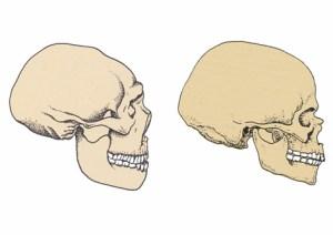 Homo nenadertalensis (bagerst) og Homo sapiens