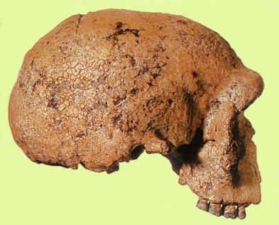 Kraniet i profil, der afslører tydelige neandertaltræk