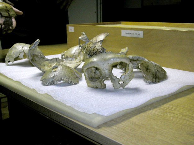 Krapina-fossiler, det antropologiske museum i Zagreb
