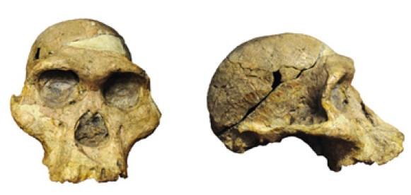 Mrs. Ples (Australopithecus africanus) som Broom fandt i hulerne ved Sterkfontein i 1947