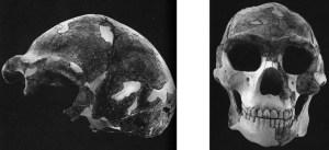 Weidenreichs rekonstruktion af Sinanthropus (Peking-mennesket)
