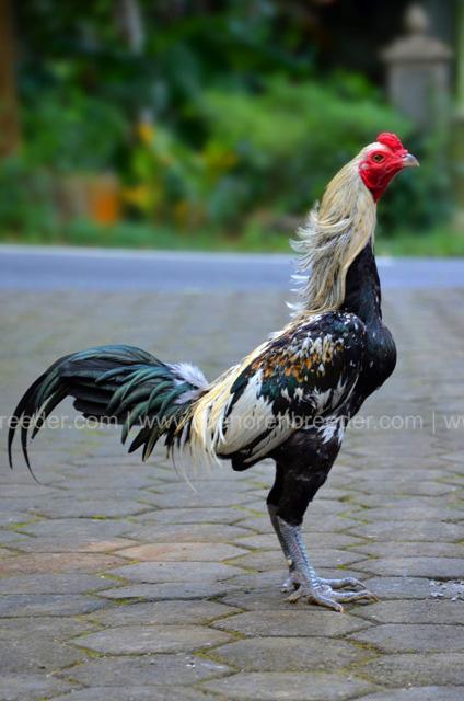 MB600 Gilardo terjual  MENOREH BREEDER Peternakan Ayam
