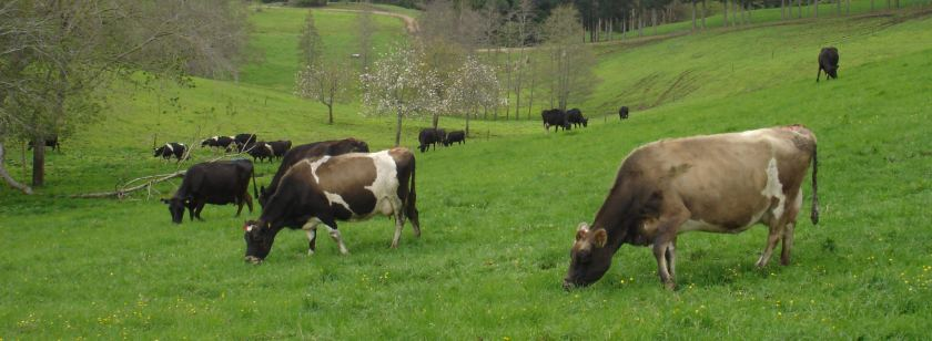 joyce-brown-cows-2