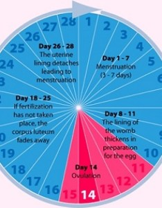 Ovulation cycle also when am  most fertile rh menstrual calculator