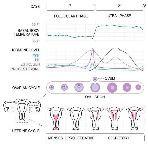 hormonal-phases-hormones