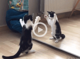 cat playing in the mirror gif video