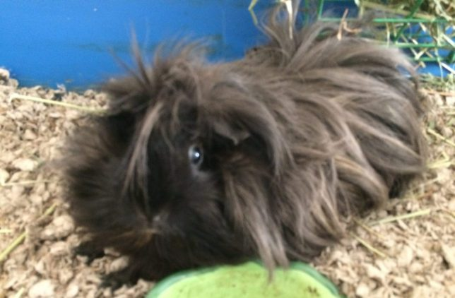 Cookie the guinea pig with front paws stretched out