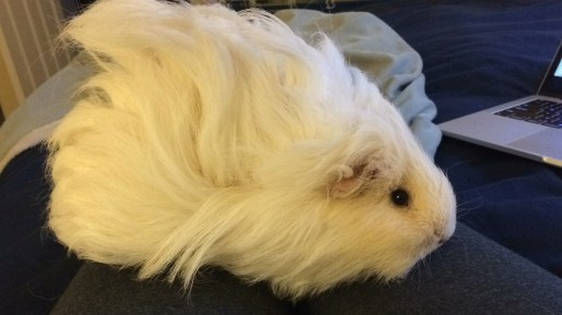 guinea pig girl with fluffed up hair