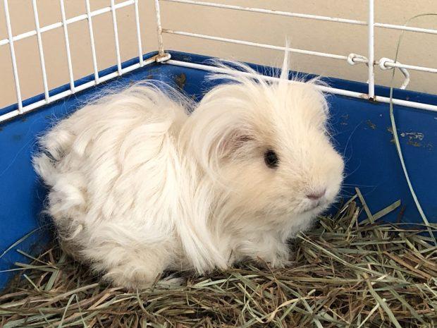 guinea pig Casper