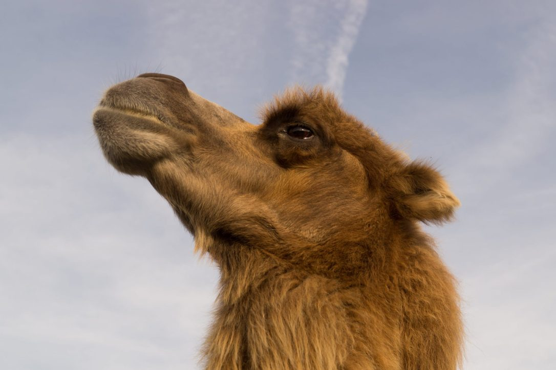 headshot of a camel looking up at the sky