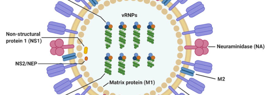 Influenza virus diagram showing surface proteins