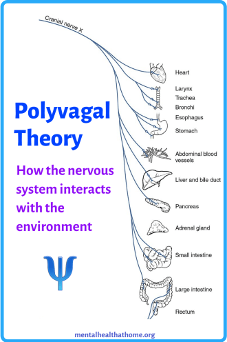 Polyvagal theory - diagram of the organs the vagus nerve connects to