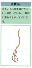 波状毛の図解