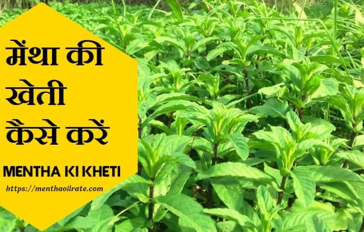 मेंथा की खेती कैसे करें mentha ki kheti kaise karen