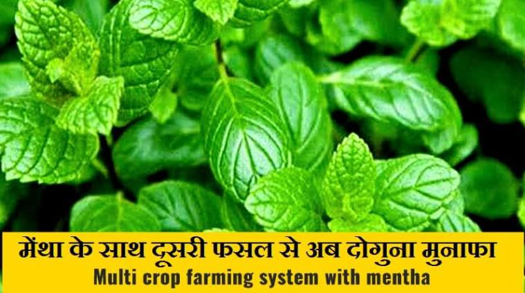 multi crop farming with mentha