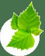 Betula (Береза)