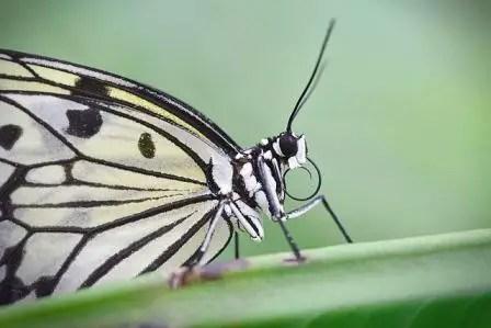 Arti Mimpi Kupu-kupu