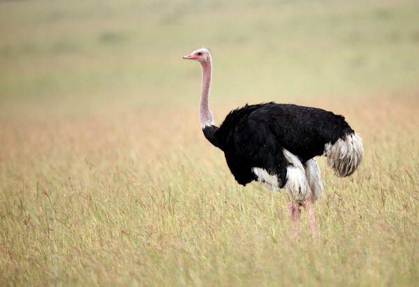 Inyoni ya Otirishe (Ostrich) ntiguruka