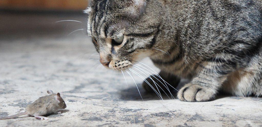 Toksoplasmosis pada kucing