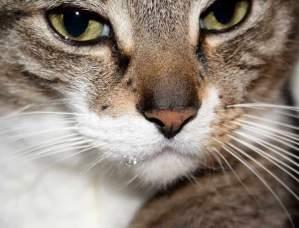 kucing ngiler